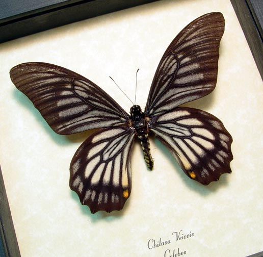 chilasa-veiovis Gothic Framed Butterflies & Insects by Butterfly-Designs