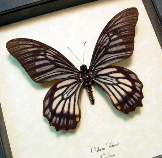 Chilasa veiovis Black Gothic Skull Butterfly