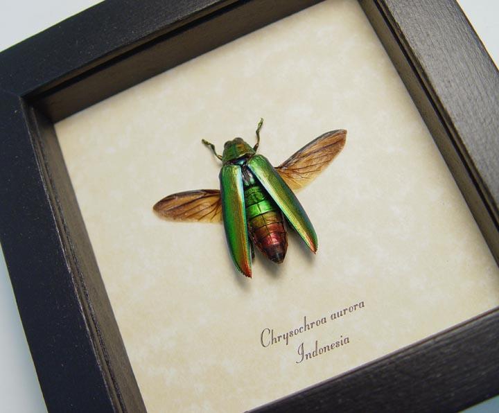 Chrysochroa aurora Gold Flying Beetle