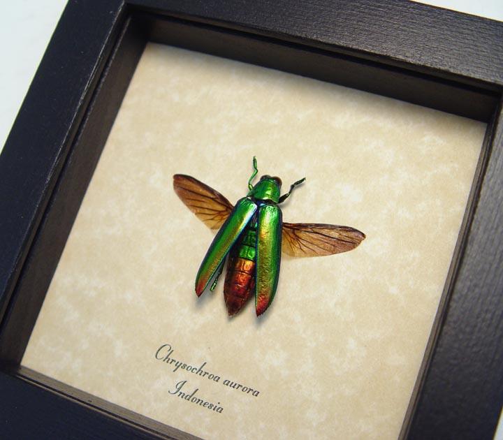 Chrysochroa aurora Green Flying Beetle
