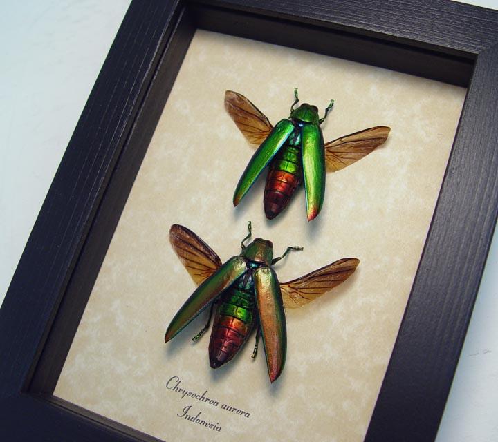 Chrysochroa aurora Set Jewel Beetles
