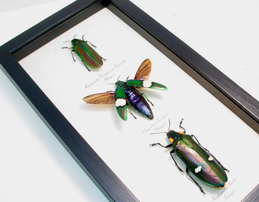 Jewel Beetle Collection real framed beetles