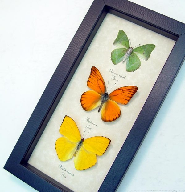 Real-framed-butterfly-collection-citrus-set