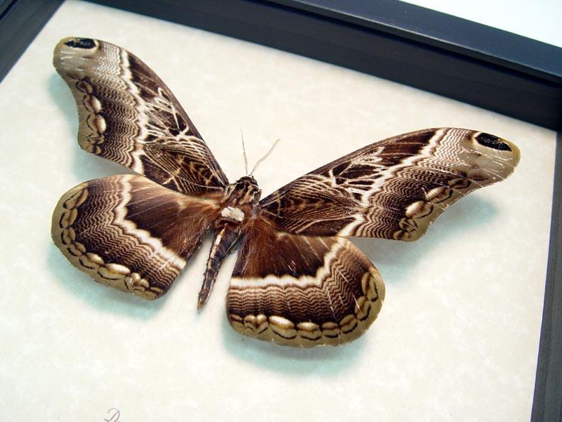 Dactyloceras lucina Drurys Owl Moth
