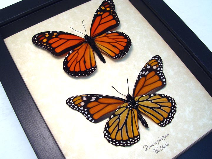 Danaus Plexippus Pair Monarch Butterflies