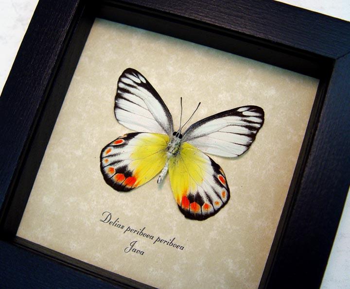 Delias periboea verso Colorful Yellow Orange Butterfly