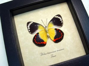 Delias timorensis moaensis verso Butterfly