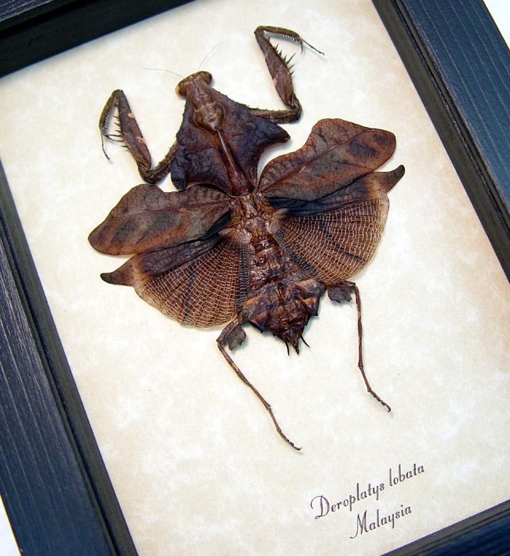 Deroplatys lobata Dark Leaf Mimic