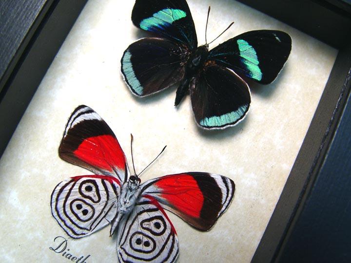 Diaethria clymena Pair Framed 88 Butterflies