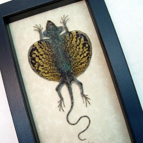 Draco volans Mottled Gold Flying Dragon Lizard by Butterfly-Designs