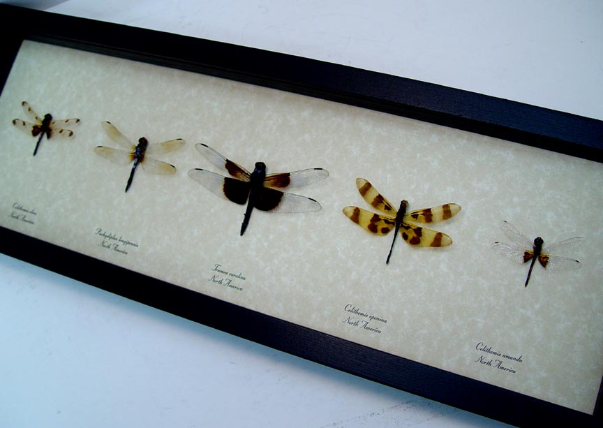 Dragonfly Collection North American Dragonflies Set of 5