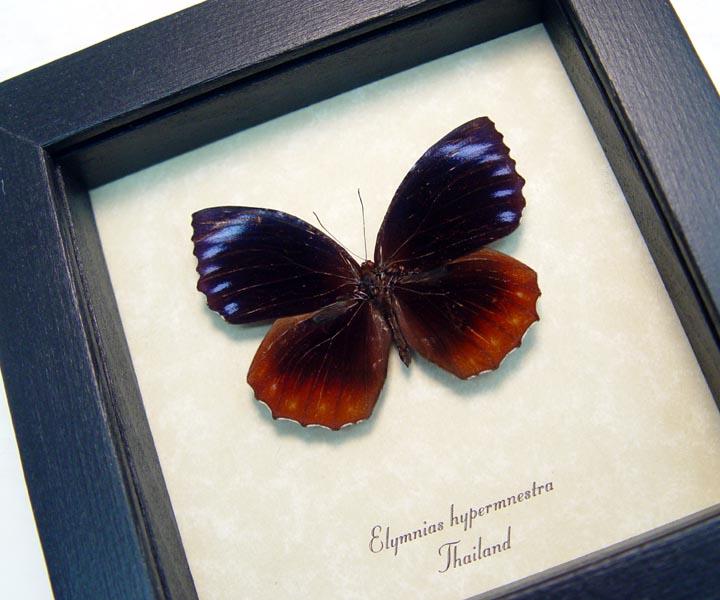 Elymnias hypermnestra Palmfly Fire & Ice Butterfly
