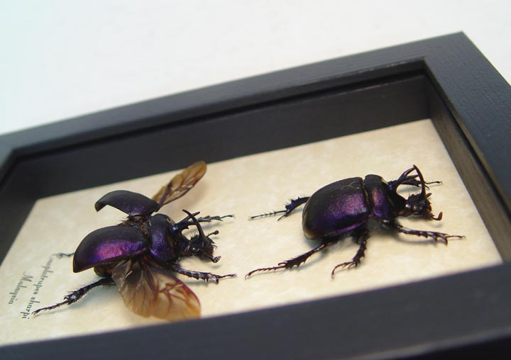 Enoplotrupes sharpi set Purple Scarab