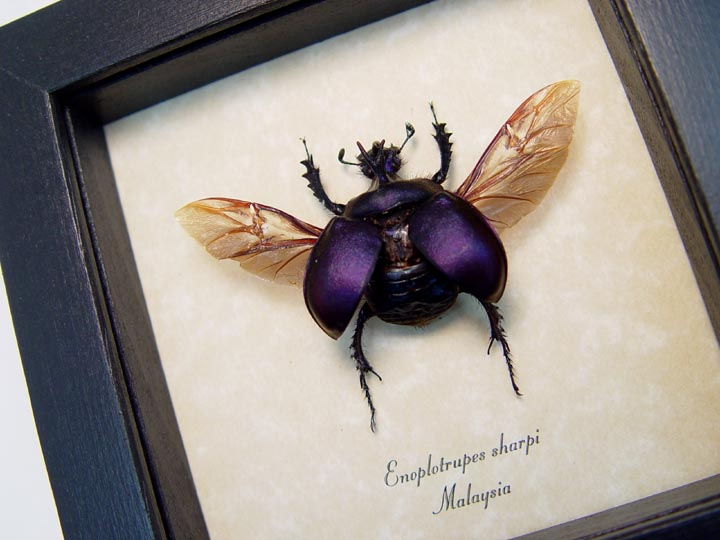 Enoplotrupes sharpi Purple Horned Scarab