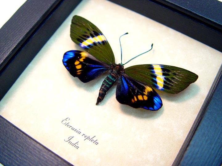 Eterusia repleta Male Day Flying Moth
