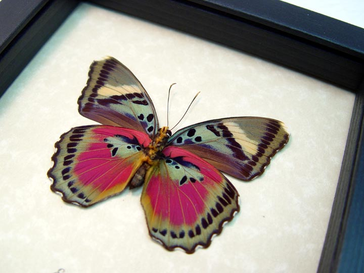 Euphaedra xypete Pink Forester African Butterfly