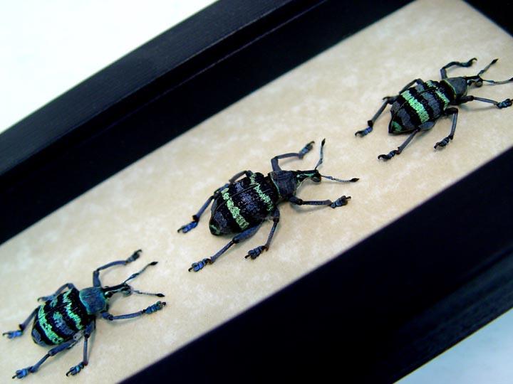 Eupholus magnificus 3 Weevil Set