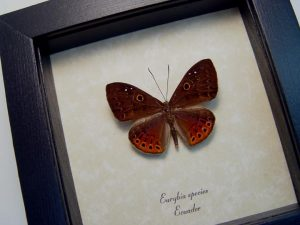 Eurybia species Orange Metalmark