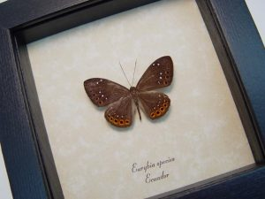 Eurybia species Metalmark Butterfly