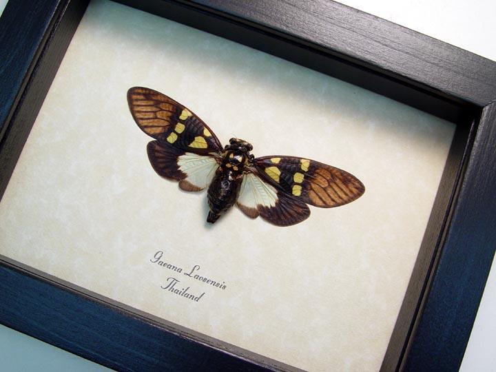 Gaeana laosensis Yellow Spot Cicada