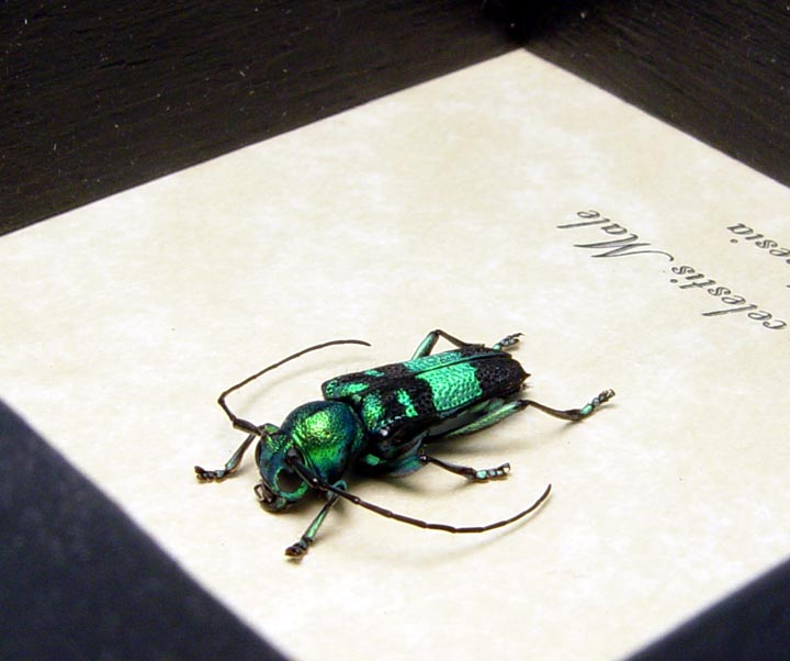 Glenea celestis male Blue Longhorn Beetle