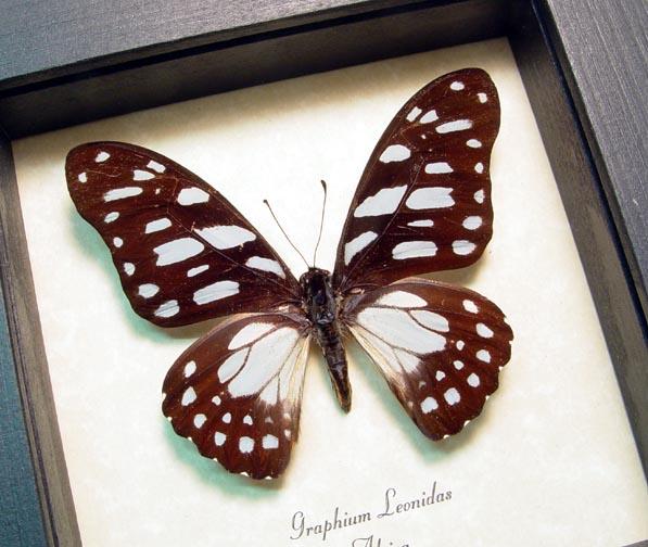 Graphium leonidas Veined Swordtail