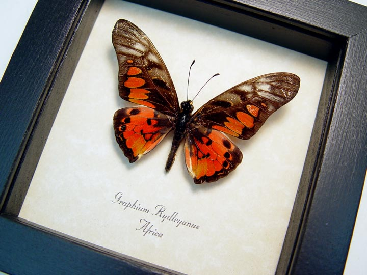 Graphium rydleyanus African Butterfly