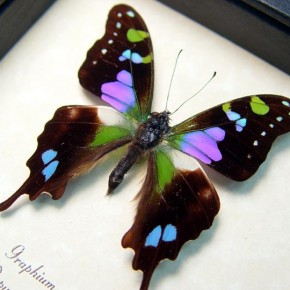 Best Sellers graphium weiskei real framed butterflies by butterfly designs