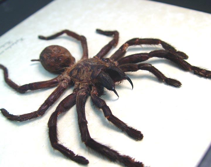 Haplopelma minax TarantulaSpider