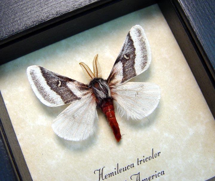 Hemileuca tricolor Buckmoth Moth