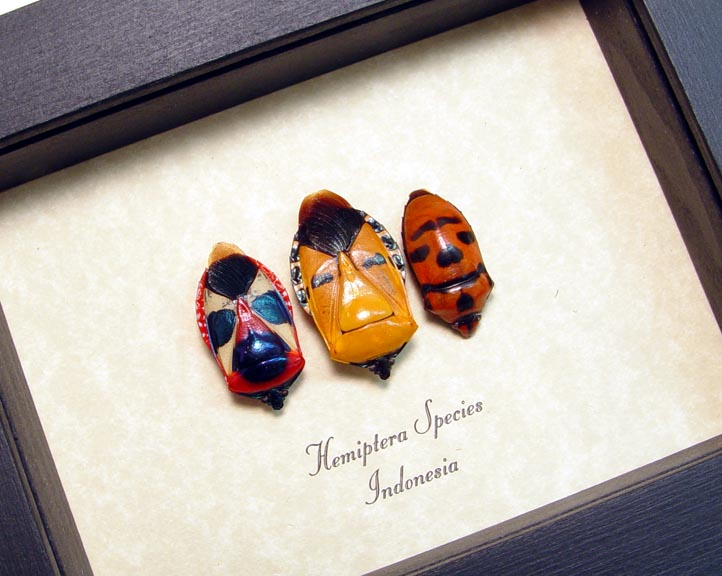 Hemiptera Set Man Face Beetles