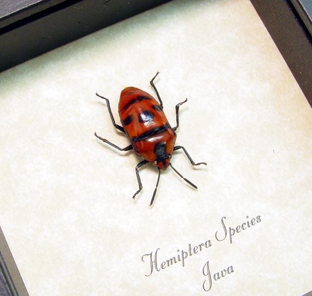 Hemiptera Red Man Face Beetle