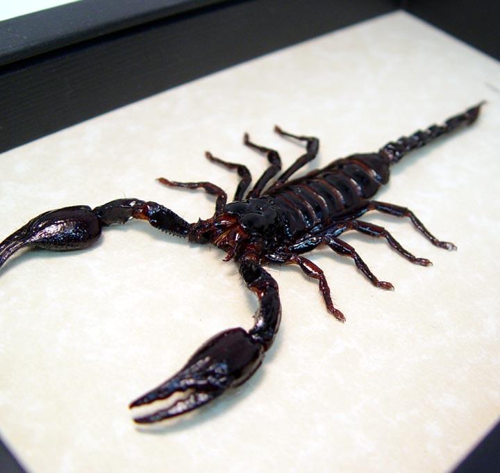 Heterometrus laoticus Framed Scorpion Insect