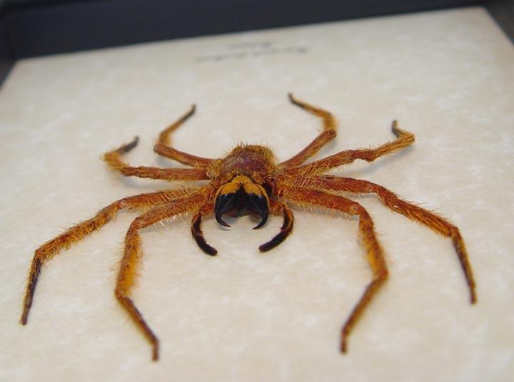 Heteropoda davidbowie Large Huntsman Spider  david nowie spider