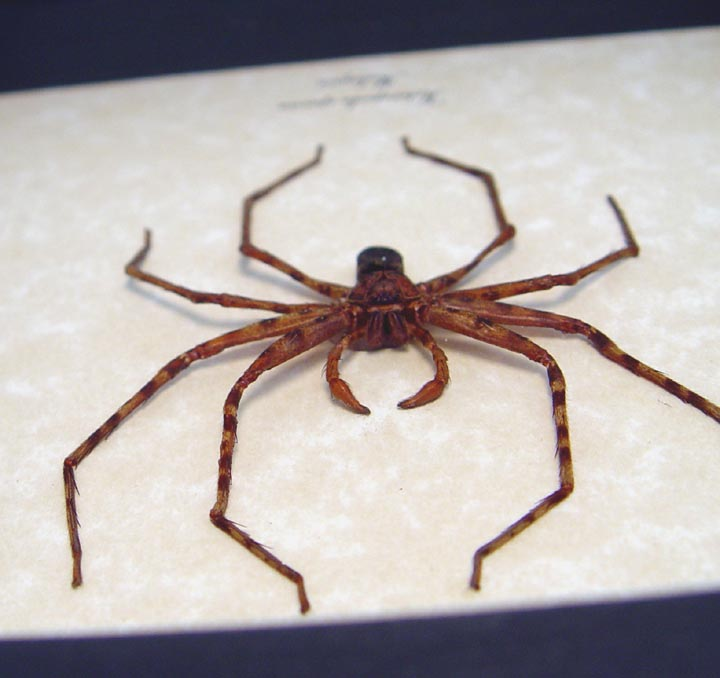 Heteropoda species Huntsman Spider