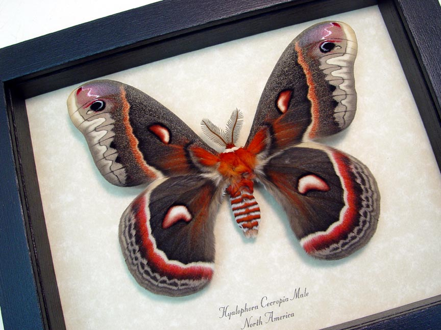 Hyalophora cecropia male Large North American Silk Moth Framed Insect