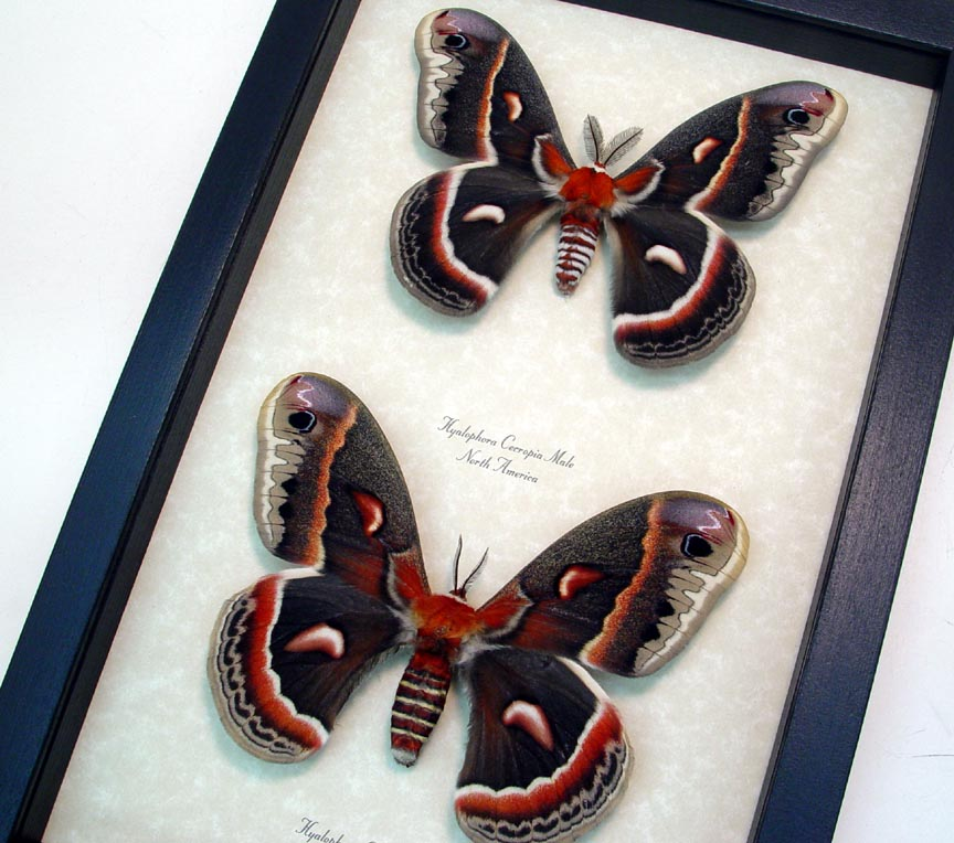 Hyalophora cecropia Pair North American Silk Moths Real Framed Insects