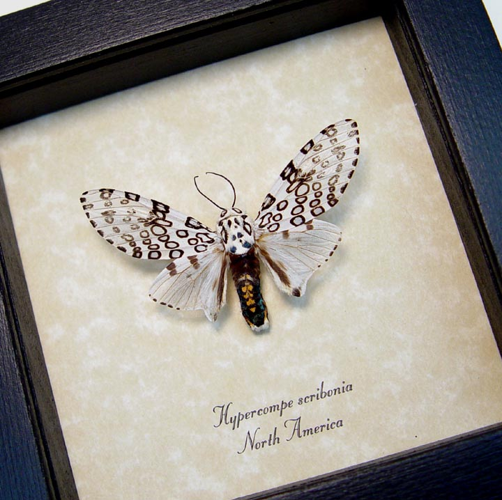 Hypercompe scribonia Framed Leopard Moth