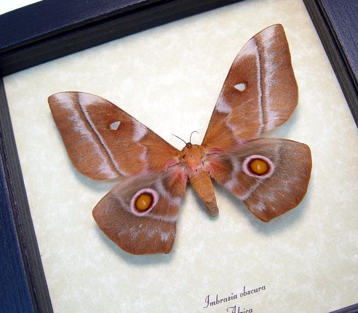 Imbrasia obscura Silk Moth Female