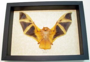 Orange Bat Kerivoula picta Painted Woolly Bat