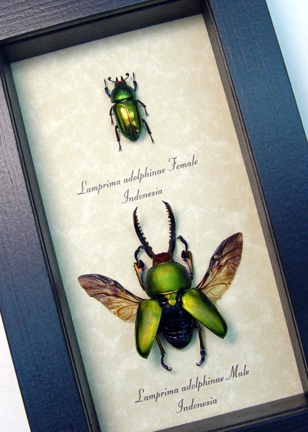 Lamprima Adolphinae Flying Beetle Set