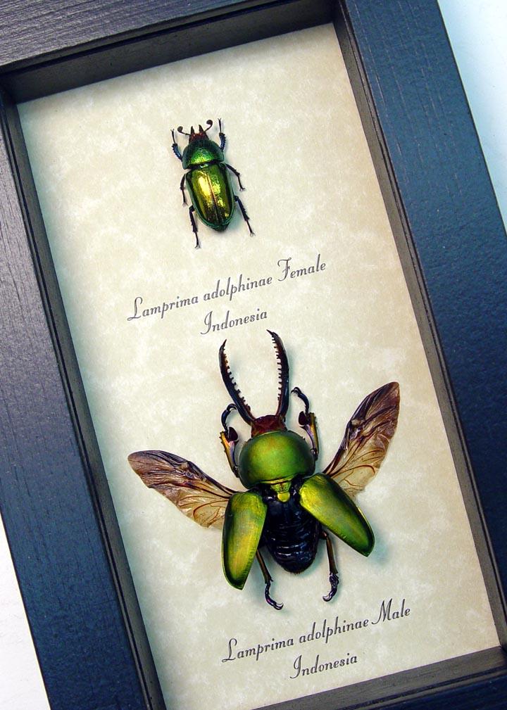 Lamprima Adolphinae Flying Beetle Set