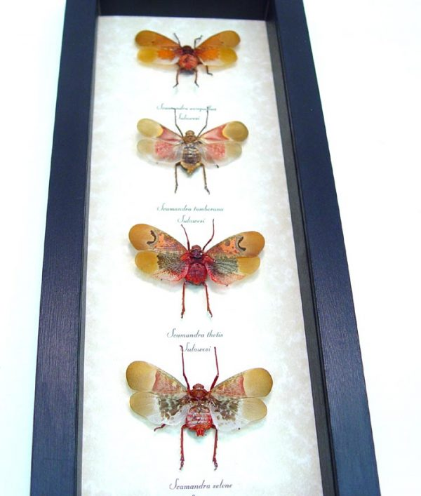 Oriental Lanternfly Collection Real Framed Insects