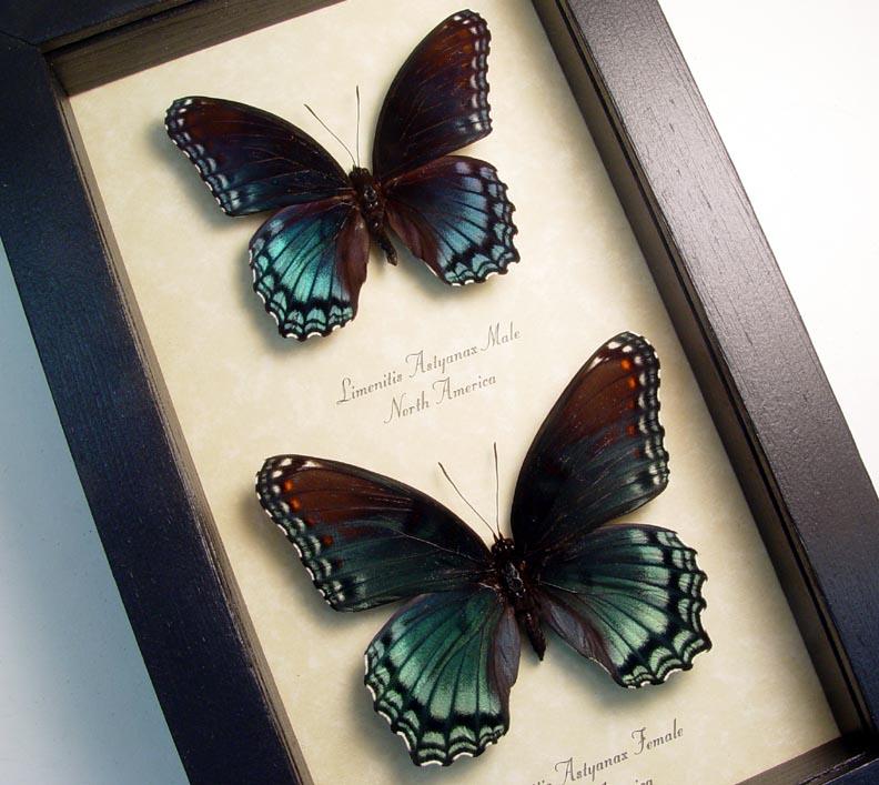 Limenitis Astyanax Pair Butterflies