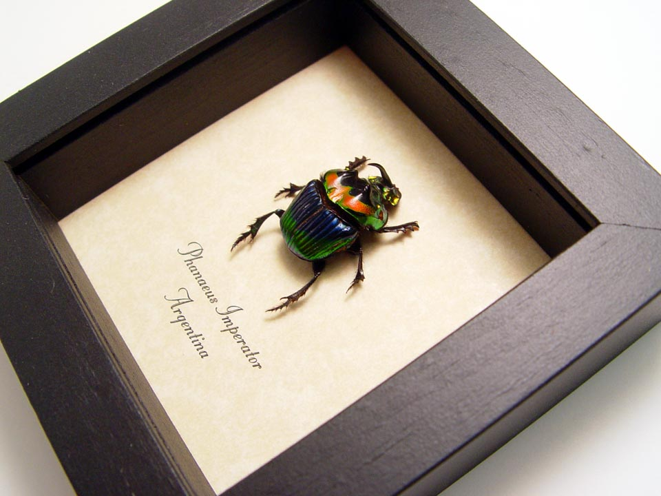 Phanaeus Imperator Male Scarab Beetle