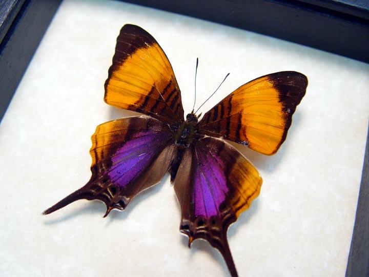 Marpesia marcella Daggerwing Butterfly Purple Orange Swallowtail