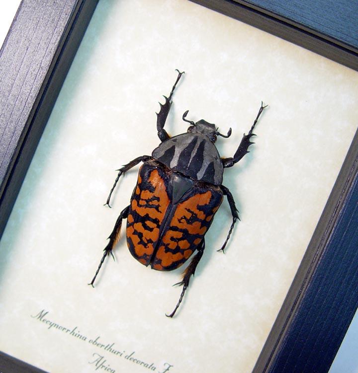 Mecynorrhina oberthuri decorata Female Beetle