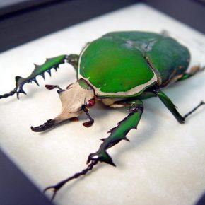 mecynorrhina-torquata-male-framed-beetle