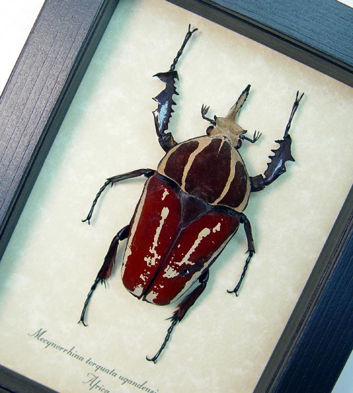Mecynorrhina torquata ugandensis African Beetle