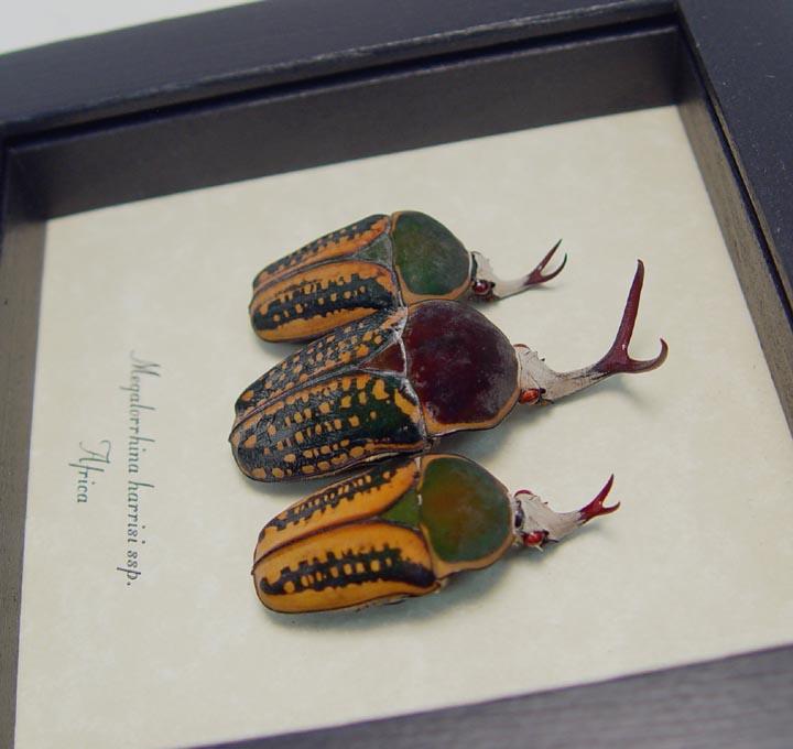 Megalorrhina harrisi Antler Beetle Collection